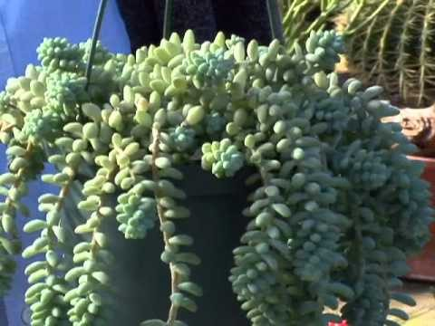Succulent Plants for Your Home