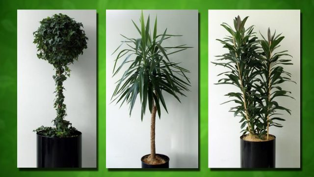 Buxus Palms Native plants Ivy balls Terrarium plant wall