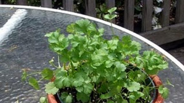 How to Grow Cilantro or Coriander leaves (Dhaniya) Video by Bhavna