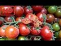 #AmazingToday2017 Hydroponics – Greenhouse Tomato Farming 2016