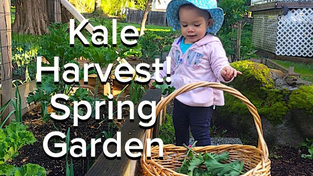Harvesting Kale Gardening with Kids!