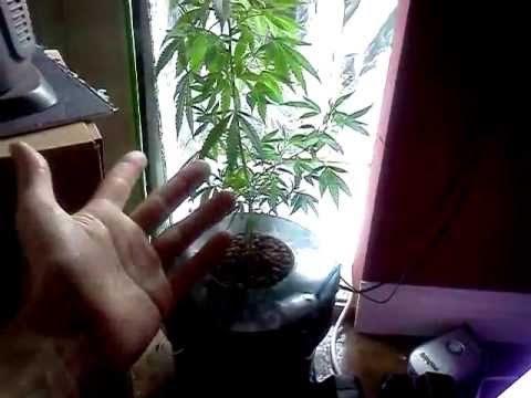 First time marijuana grow hydroponic DWC