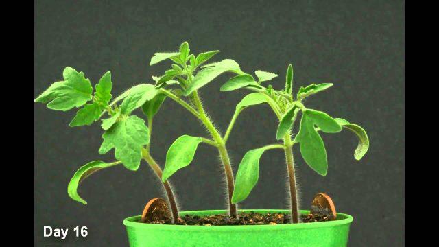 Time Lapse – Tomato Plant HD