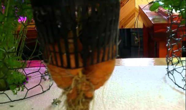 Aeroponic carrots