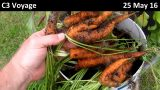 Hydroponic Carrot Harvest – 25 May 16