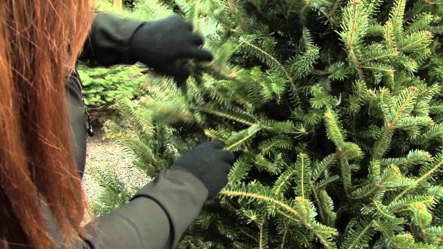 How to Choose the Best Christmas Tree