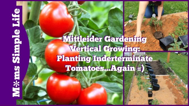 Mittleider Gardening Vertical Growing: Planting Indeterminate Tomatoes…Again =)