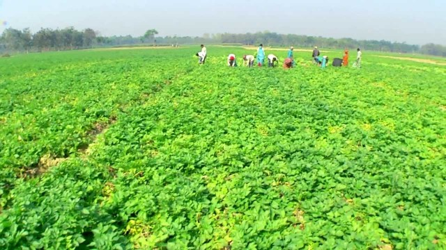 Improved Potato Farming Yields Results in Bangladesh
