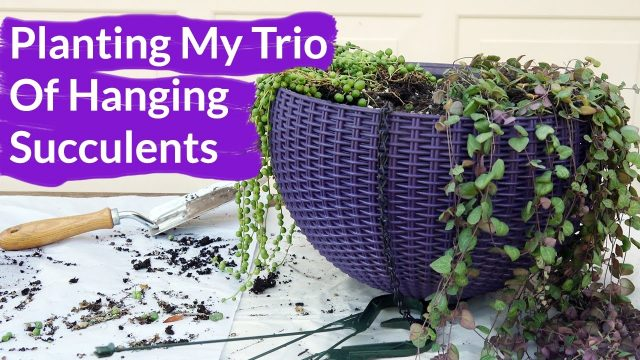 Planting My Trio Of Hanging Succulents