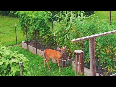 Deer in the Garden eating the Beets !!! Vegetable Soup Recipe and more container gardening salad