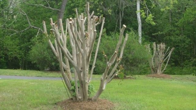 How To Prune The Crape Myrtle Tree – Step Wise Details