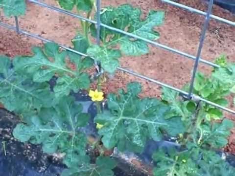 GROWING WINTER SQUASH UP A TRELLIS UPDATE 5-24-2012